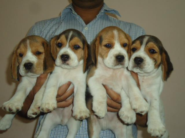 Puppies sired by Ch. Xplorer's Ice Box